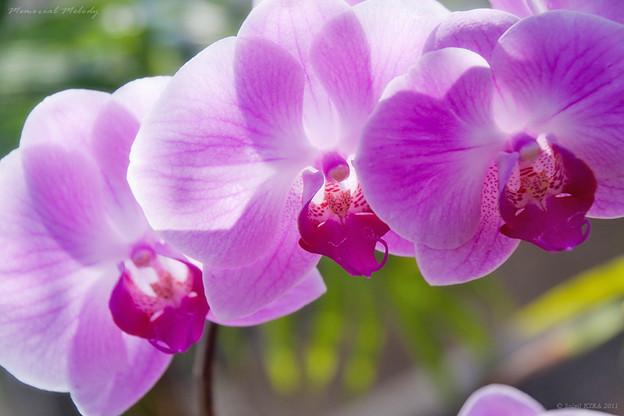 胡蝶蘭の画像